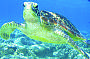 Friendly Green Turtle